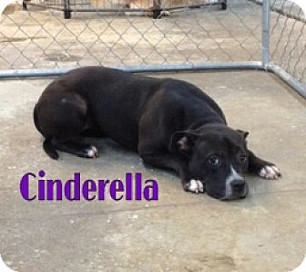 Pit Bull Terrier Dog for adoption in Ringgold, Georgia - Cinderella