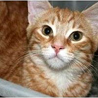 Domestic Shorthair Cat for adoption in Canoga Park, California - Gatsby