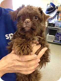 Toy Poodle/Maltese Mix Dog for adoption in Taylor Mill, Kentucky - Poppyseed-Pending adoption