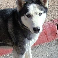 Adopt A Pet :: Safyre - Las Vegas, NV