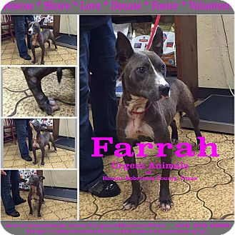 American Bulldog Mix Dog for adoption in Hearne, Texas - Farrah