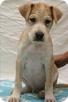 Labrador Retriever/Shar Pei Mix Puppy for adoption in Allentown, Pennsylvania - Kane