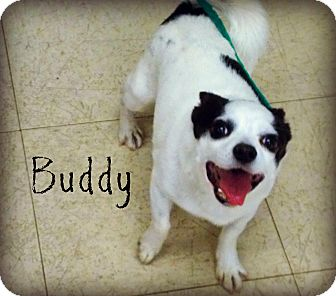 Chihuahua Mix Dog for adoption in Defiance, Ohio - Buddy