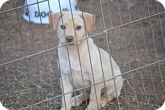 Labrador Retriever Mix Puppy for adoption in Springfield, Virginia - Sage