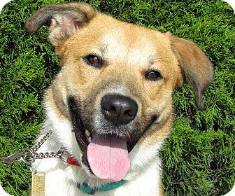 Collie/German Shepherd Dog Mix Dog for adoption in Overland Park, Kansas - A076434 Caesar