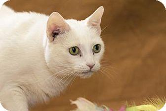 Domestic Shorthair Cat for adoption in Chesapeake, Virginia - Charm 34460580