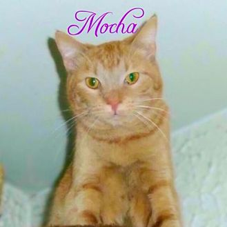 Domestic Shorthair Cat for adoption in York, Pennsylvania - Mocha