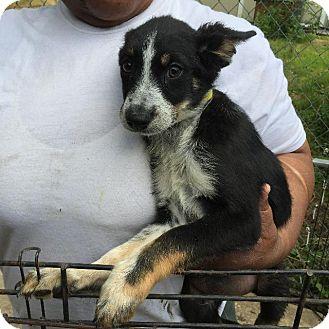 Border Collie Mix Puppy for adoption in Danbury, Connecticut - Kayden