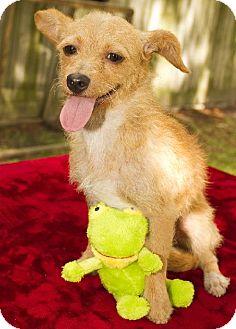 Dachshund/Norfolk Terrier Mix Dog for adoption in Santa Fe, Texas - Goldie-- playful sweet social girl--S