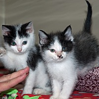 Adopt A Pet :: Ying & Yang - New Martinsville, WV