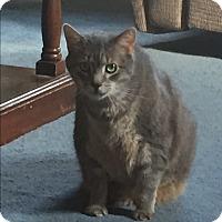 Adopt A Pet :: Tabby - Lenhartsville, PA