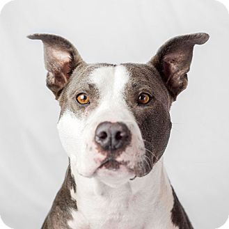 American Staffordshire Terrier/Labrador Retriever Mix Dog for adoption in Marina del Rey, California - Buddy