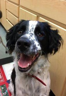 Border Collie/English Springer Spaniel Mix Dog for adoption in CHESTERTOWN, Maryland - Stevie