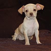 Adopt A Pet :: Puggy Sue - Henderson, NV