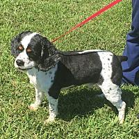 Adopt A Pet :: Sam 6yr - Mentor, OH