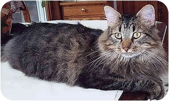 Maine Coon Cat for adoption in Owatonna, Minnesota - Hobo