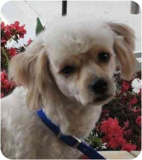 Poodle (Miniature) Dog for adoption in League City, Texas - Maxx