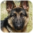Photo 1 - German Shepherd Dog Dog for adoption in Los Angeles, California - Lena von Malibu
