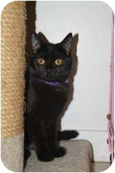 Domestic Shorthair Cat for adoption in North Branford, Connecticut - Zipper