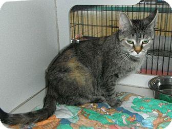 Domestic Shorthair Cat for adoption in Jackson, Michigan - Shasta