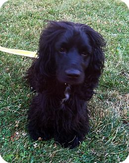 Cocker Spaniel Mix Dog for adoption in Mentor, Ohio - Levi 4yr Adopted