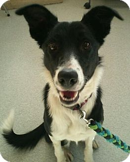 Border Collie Dog for adoption in New Milford, Connecticut - Stella