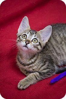 Domestic Shorthair Kitten for adoption in Chicago, Illinois - Pecan Sandy