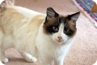 Siamese Cat for adoption in San Leandro, California - Cinnamon