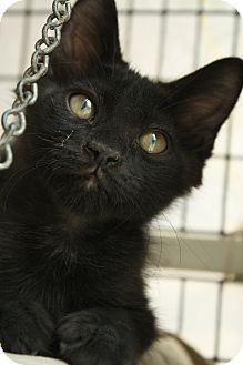 Domestic Shorthair Kitten for adoption in Covington, Louisiana - Howard