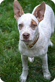 Australian Cattle Dog Mix Puppy for adoption in Salem, New Hampshire - PUPPY PIPPI