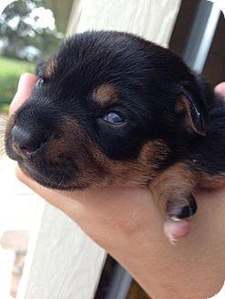 Chihuahua/Dachshund Mix Puppy for adoption in Olympia, Washington - Daisy