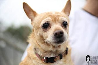 Chihuahua Mix Dog for adoption in Ventura, California - Cookie