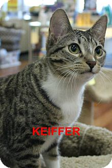 Domestic Shorthair Cat for adoption in Satellite Beach, Florida - Keefer