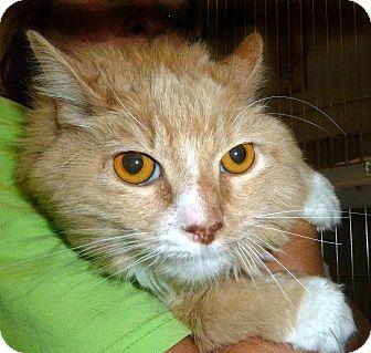 Domestic Longhair Cat for adoption in Carmel, New York - Tiger