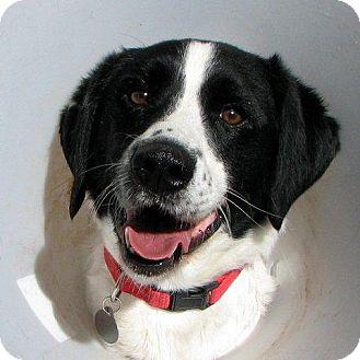 Spaniel (Unknown Type) Mix Dog for adoption in Truckee, California - Sam