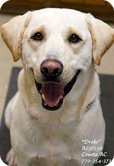 Labrador Retriever Dog for adoption in Newnan City, Georgia - Drake