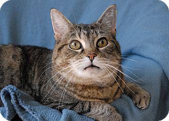 Domestic Shorthair Cat for adoption in Winchendon, Massachusetts - Brin