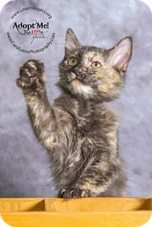 Domestic Shorthair Kitten for adoption in Cincinnati, Ohio - Raven
