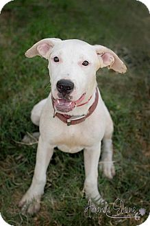 Pit Bull Terrier Mix Puppy for adoption in Pilot Point, Texas - IVORY