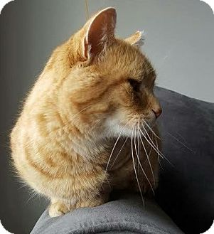 Domestic Shorthair Cat for adoption in Edmonton, Alberta - Evander Holyfield