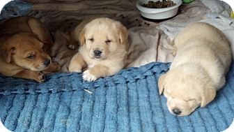 Labrador Retriever/Golden Retriever Mix Puppy for adoption in Austin, Texas - Dilly Puppies