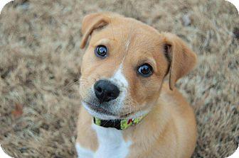 Labrador Retriever Mix Puppy for adoption in Medina, Tennessee - Ozzy