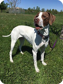 Pointer Mix Dog for adoption in Maryville, Missouri - Ruby