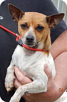 Chihuahua Dog for adoption in SUSSEX, New Jersey - Tammy(9 lb) Precious Pea!