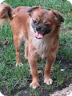 Pekingese Mix Dog for adoption in Columbia Heights, Minnesota - Cagney