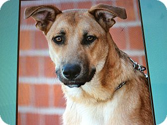 German Shepherd Dog Mix Puppy for adoption in Los Angeles, California - BARNEY VON BARDULF