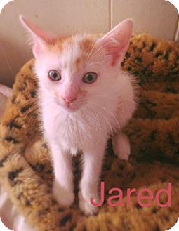 Domestic Shorthair Kitten for adoption in Brooklyn, New York - Jared