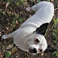 Adopt A Pet :: Molly - North Richland Hills, TX