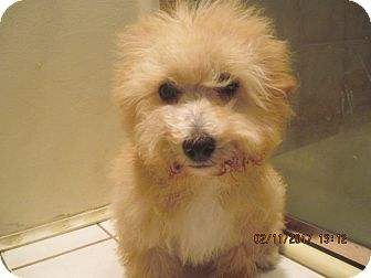 Terrier (Unknown Type, Small)/Poodle (Miniature) Mix Puppy for adoption in La Mesa, California - PUPPY GIRL
