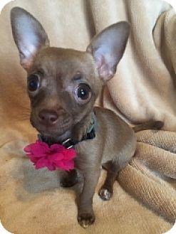 Chihuahua Mix Puppy for adoption in Mesa, Arizona - Cora
